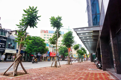 Cây lát hoa trên đường phố Hà Nội.