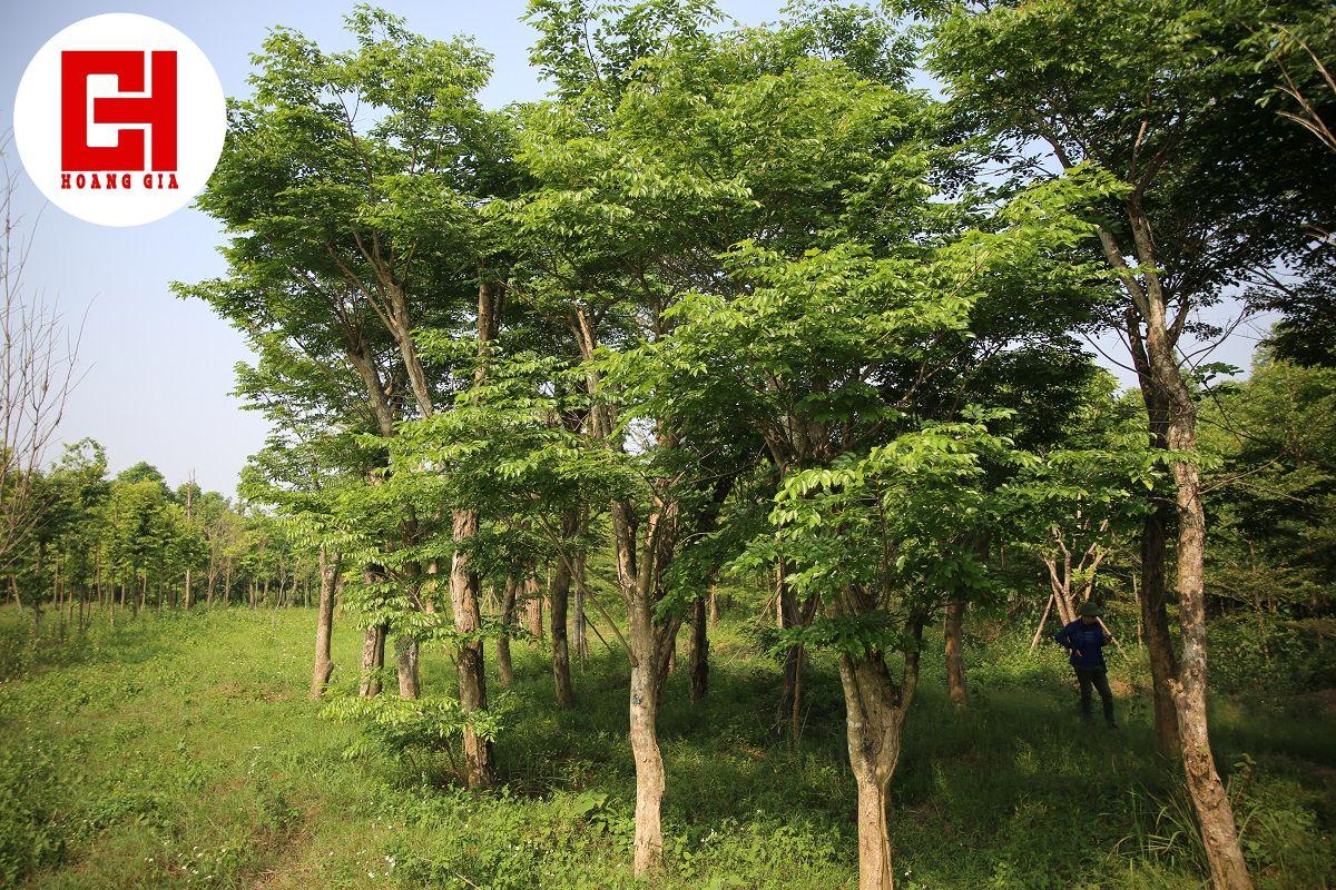 Cây xanh tại vườn ươm công ty Hoàng Gia