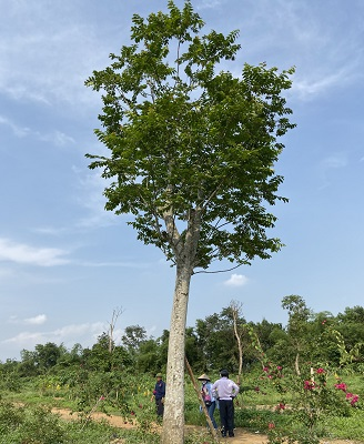 cây lát