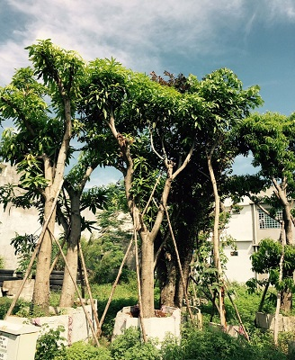 cây xoài