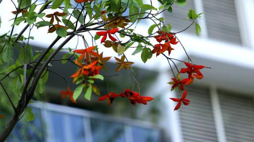 hoa cây sang